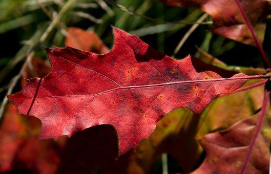 Oak Leaf, Red, Reddish, Autumn, Oak, Colorful, Emerge