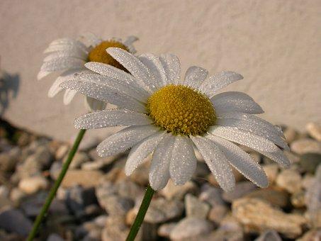 Marguerite, Dew, Blossom, Bloom, Flower, Drop Of Water