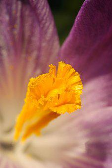 Crocus, Spring, Flower, Nature