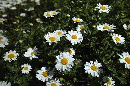 Flower, Daisy, Garden, Plant, Nature, Flowers, Macro
