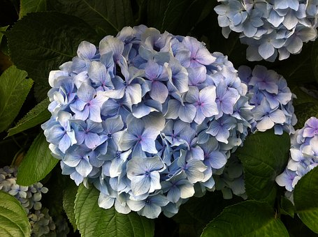 Hydrangea, Flowers, Yard