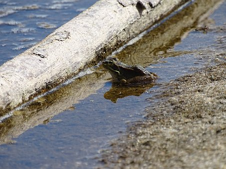 Frogs, Frogs In Water, Frogs On The Beach