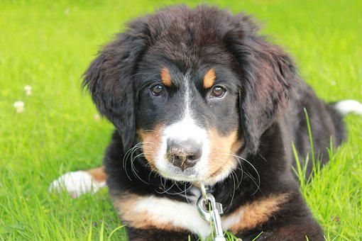 Dog, Puppy, Sweet, Good, Bernese Mountain Dog, Pet, Fur