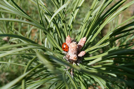 Pine, Insect, Ladybug, Needle, Forest, Nature, Green