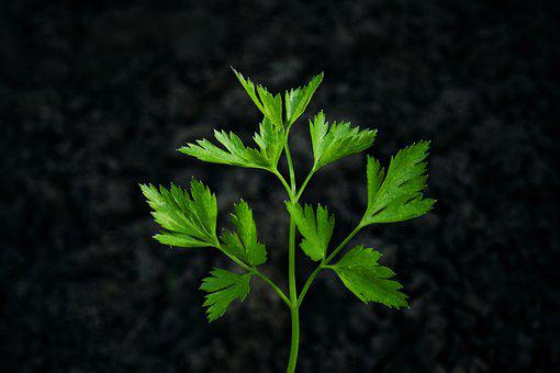 Parsley, Herb, Black Background, Healthy, Natural, Leaf