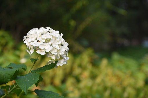Hydrangea Viburnum, Flower, White