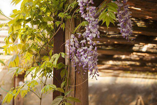 Plant, Entwine, Garden, Gazebo, Ivy Hedge, Vine Stems