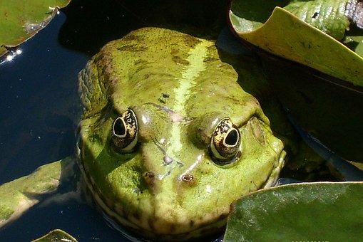 The Frog, Green, Large, Animals, Nature, Eyes, Macro
