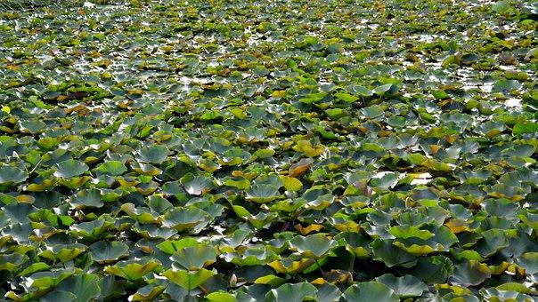 Pond, Lotus, Pond Plants, Water Lilies