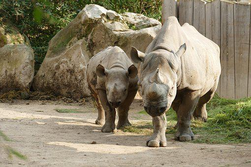 Rhino, Mother, Child, Horn, Zoo, Animal, Young Animal