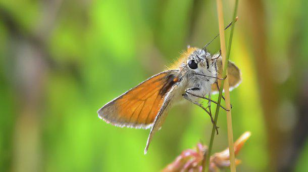 Butterfly, Lepidoptera, Small Skipper, Nature, Wildlife