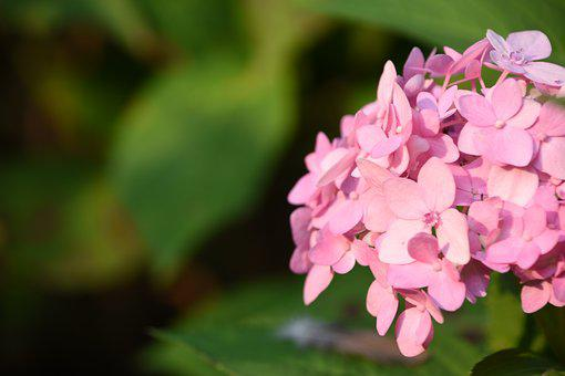 Hydrangea Viburnum, Flower, Pink, Sunshine