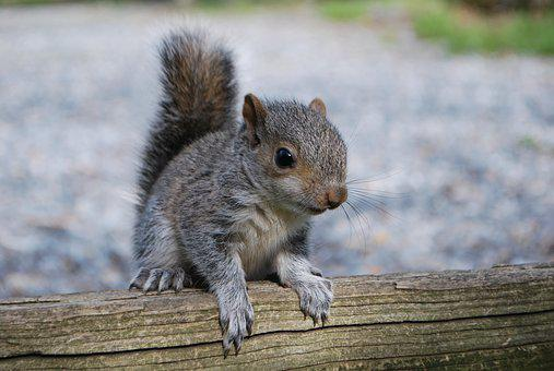 Squirrel, Squirrel On Fence, Nature, Cute, Wildlife