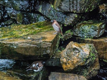 Quail, Quails, Birds, Waterfall, Stones, Stone, Water