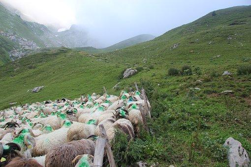 Meadows, Herd, Sheep, Breeding, Summer, Livestock