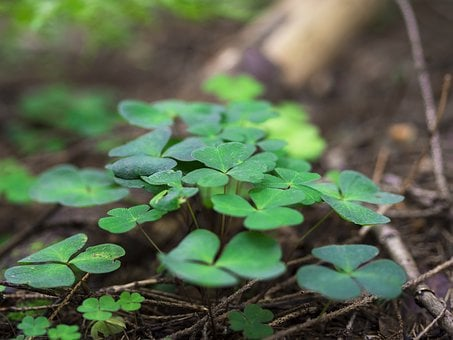 Clover, Trefoil, Trifolium, Plant, Nature, Green, Leaf