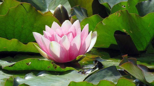Nature, Pond Plant, Water Lily