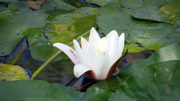 Nature, Pond Plant, Water Lily, Bug, White Water Lily