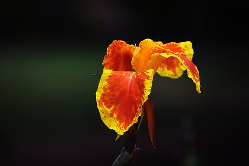 Canna Lily, Yellow Orange, Flower, Bloom, Starchy