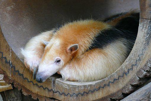 Anteater, Ant, Head, Rest, Concerns, Zoo, Animal