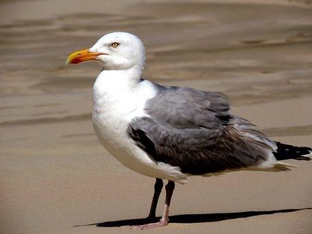Seagull, Bird, Water Bird, Seevogel, Animal, Sea