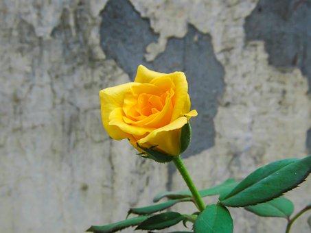 Anniversary, Background, Beautiful, Beauty, Bloom