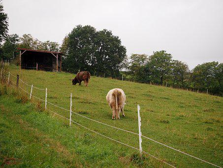 Beef, Highland Beef, Livestock, Cow, Shaggy