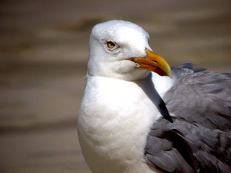 Seagull, Water Bird, Bird, Nature, Animal, Fly