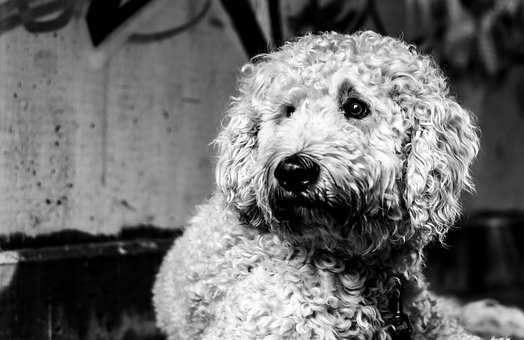 Goldendoodle, Dog, Black And White, Hybrid