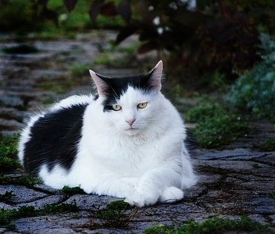 Cat, Pet, Black And White, Oreo, Contrast, Animal