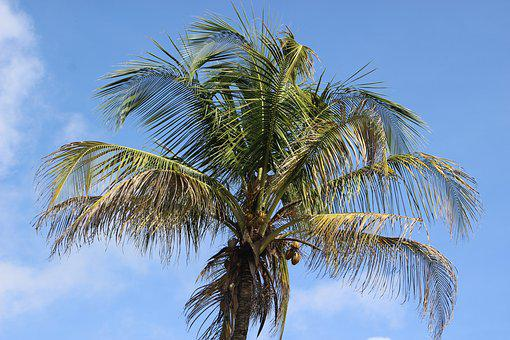Palm, Coconut, Coconut Tree, Food, Coconuts, Tropics