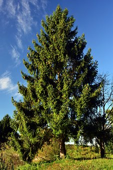 Spruce, Tree, Nature, Conifer, Tap, Green, Crown
