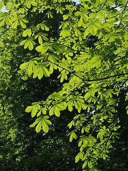 Foliage, Tree, Green, Chestnut, Branch