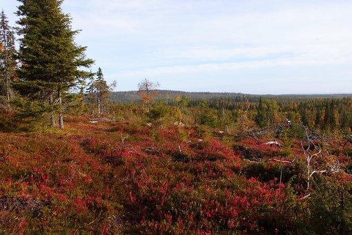 Autumn, Lapland, Nipple, Forest, Finland, Nature