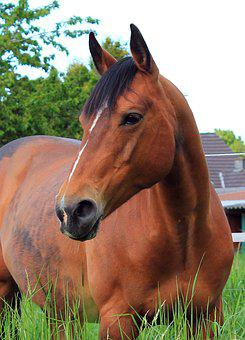 Horse, Portrait, Brown Horse, Graceful, Attention