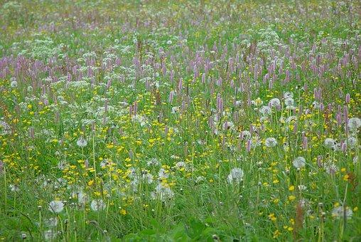 Mountain Meadow, Wild Flowers, Flower Meadow, Grass