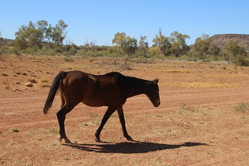 Horse, Equine, Australian Brumby, Outback