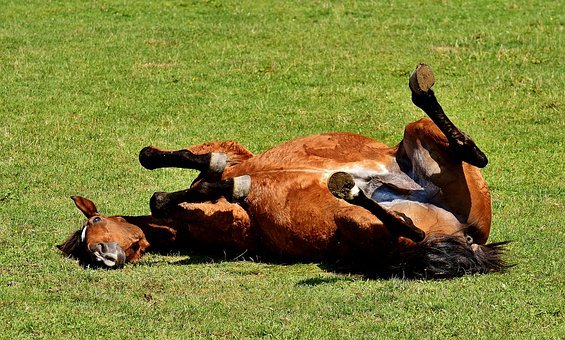 Horse, Coupling, Left Out, Play, Rolling, Meadow, Funny
