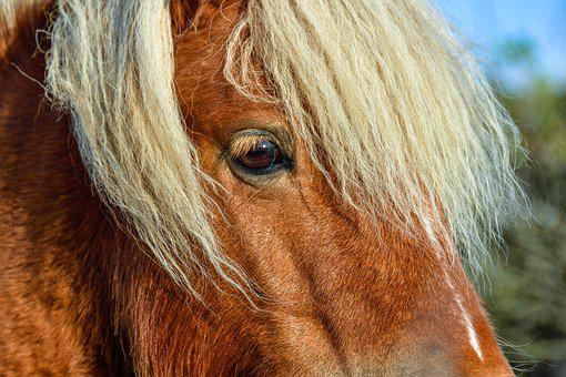 Pony, Horse, Animal, Shetland Pony, Horse Head