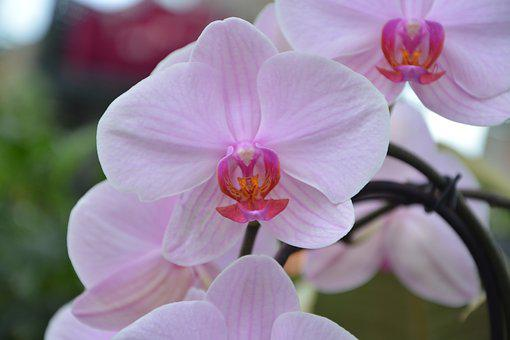 Flower Orchid, Pink, Decorative, Nature, Plant