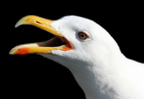 Seagull, Water Bird, Seevogel, Plumage, Head, Bill