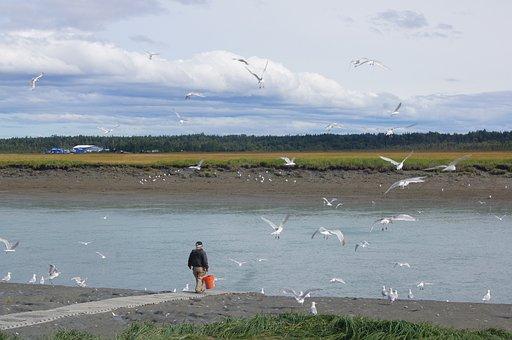 Fishing, Alaska, Sea Gulls, River, Wildlife, Nature