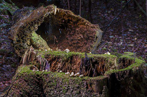 Modern, Log, Tree Trunk, Storm Wood, Mushroom, Umbrinum