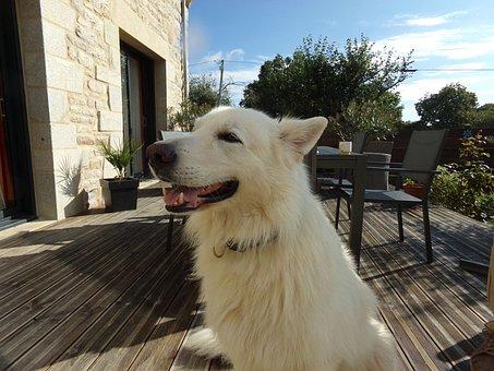 Swiss White Shepherd, White Dog, Dog, Animals