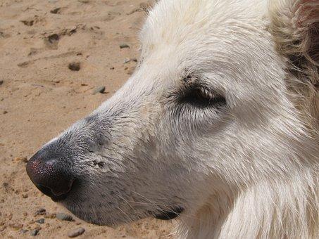 Swiss White Shepherd, White Dog, Dog, Beach, Animals