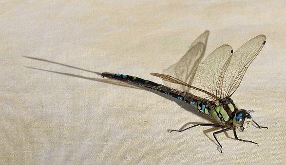 Dragonfly, Nature, Animal, Garden
