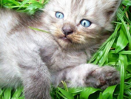 Cat, Cute, Cute Cat, Eyes, Cat Thailand, Animals