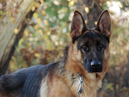 Dog, Nature, Alsatian, Animal, Cute