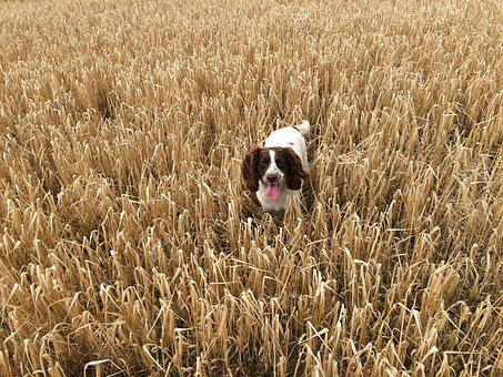 Corn, Agriculture, Dog, Food, Nature, Organic, Fresh