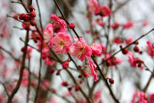 Plum Blossom, Flower, Views
